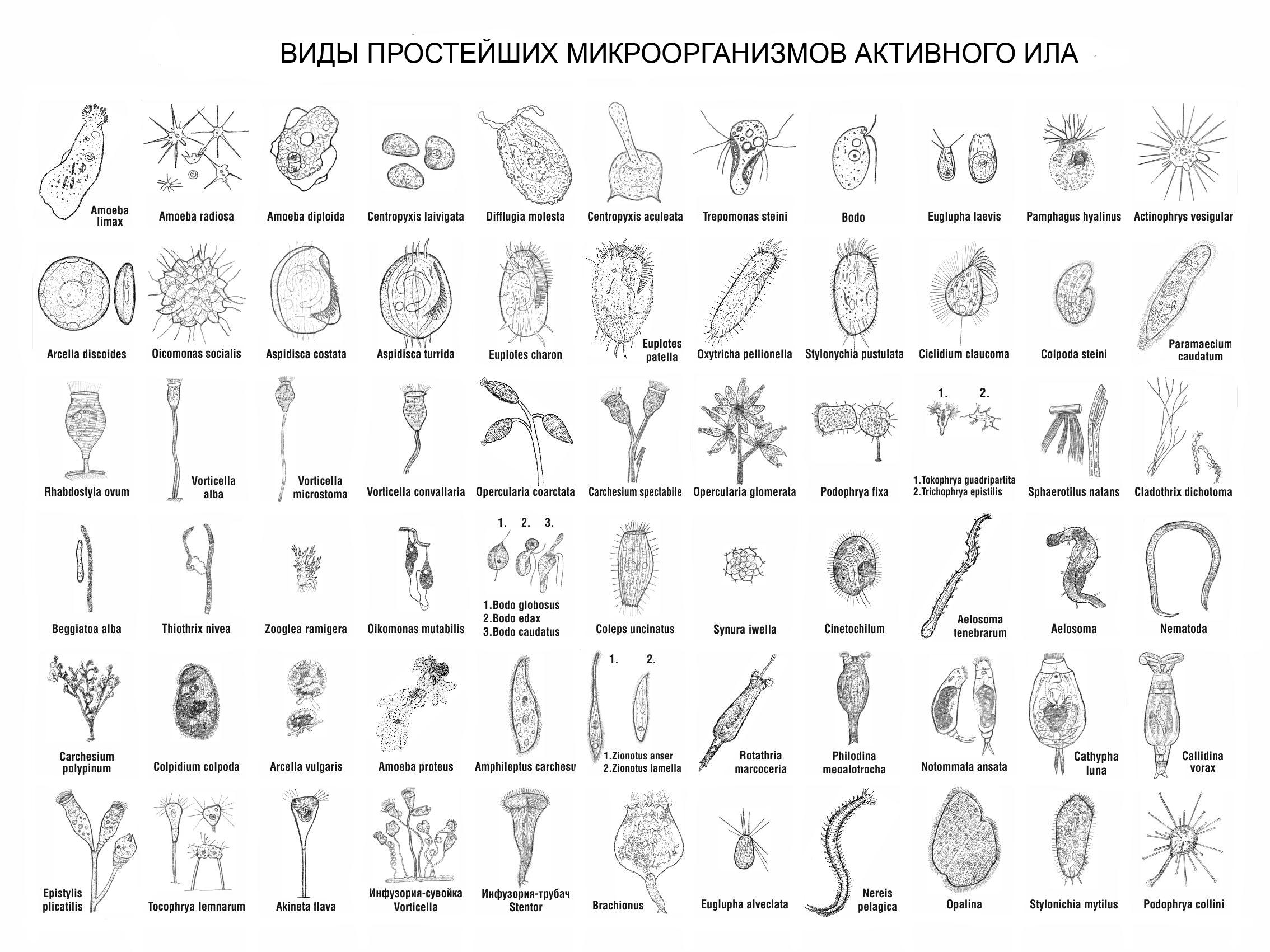 Виды микроорганизмов активного ила